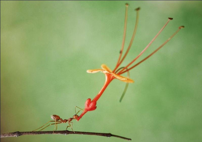 Muhammad Faishol Husni a émis ce commentaire à propos de sa photo : ''When You Really Want To Tell Someone You Love Them''. La Fontaine a bien raison de nous la décrire laborieuse, des dessins animés racontent qu'elle est atomique.Trouvez cet insecte de qui on dit : ''An ant sporting a flowery fascinator in Batam, Indonesia'' ?