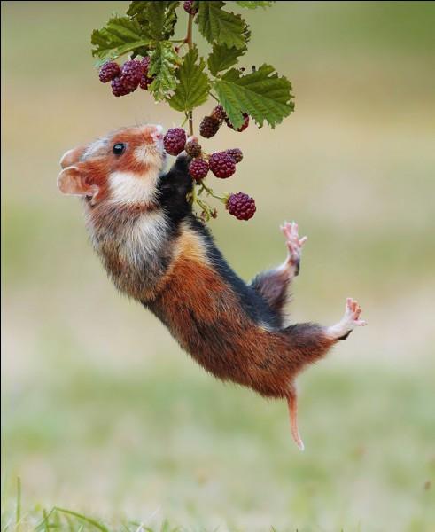 '' Le photographe autrichien Julian Rad un des photographes animaliers les plus talentueux de son époque (...) qui capture la beauté et l'innocence des animaux sauvages dans leur milieu naturel.'' creapills.com. Il a d'ailleurs gagné le Comedy Wildlife Photography Award de 2015.Quel est cet animal pris en jouant à l'acrobate ?