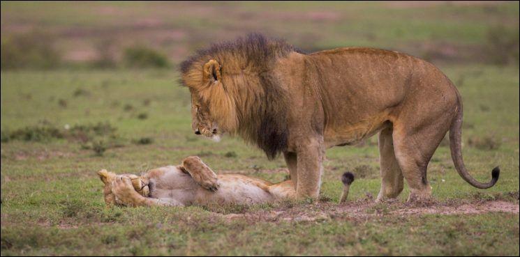 Je te conterai cela une autre fois, si tu veux bien : il est assez tentant d'humaniser la photo de Maureen Toft. Je crois que cela l'a aidée à mériter le ''Comedy Wildlife Photography Awards 2018''. N'y voyez-vous pas un grand classique de la vie conjugale ?Ce photo, pleine de tendresse, met en valeur le roi de la jungle et son épouse : cochez la case appropriée s.v.p.