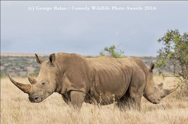 Cette photo insolite donne l'illusion d'un mammifère à 2 têtes : dans les faits, il ne reste que bien peu de ces herbivores hors des parcs nationaux et des réserves naturelles. Ils consomment jusqu'à 80 litres d'eau en une journée.Quelle est cette espèce que notre planète doit sauver ?