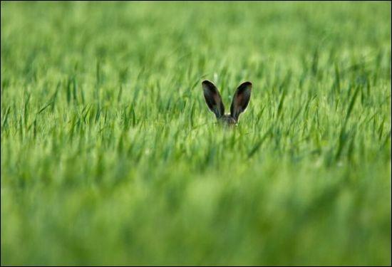 D'après moi, il pense ce qui suit : ''Je ne vois rien, je ne dis rien mais j'entends tout''. J'ai lu un commentaire ''lebre timida'' ce que je ne crois pas. Photographie d'Axel Kottal appelé ''Hare Ears'' prise en 2015 en plein champ.Quel est le nom de cet animal prudent ?