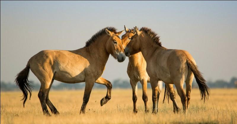 Le cheval de Przewalski fait environ ... cm au garrot.