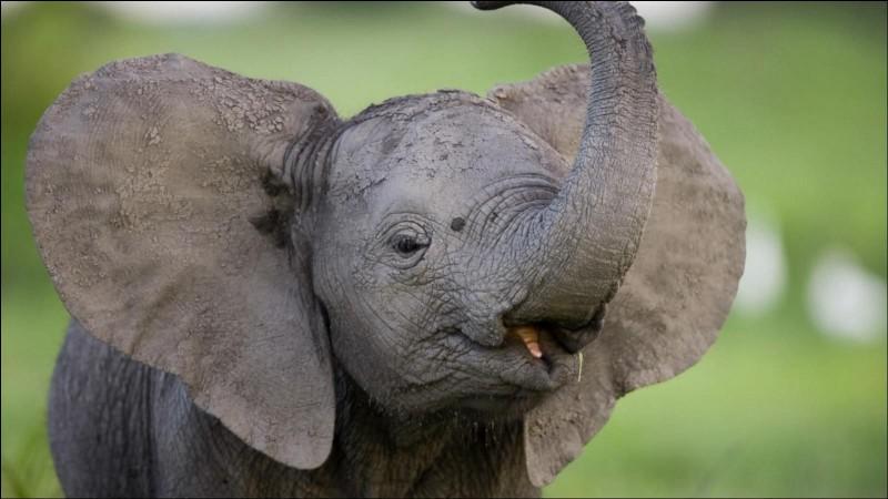 Quelle est la vitesse maximale de l'éléphant ?