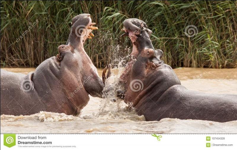 De combien de personnes l'hippopotame cause-t-il la mort par année ?