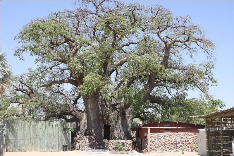 Le baobab africain est sacré, il fait partie de la vie du village : c'est ''l'arbre à palabre'', mais c'est aussi l'arbre pharmacien et nourricier, car tout se mange dans le baobab.