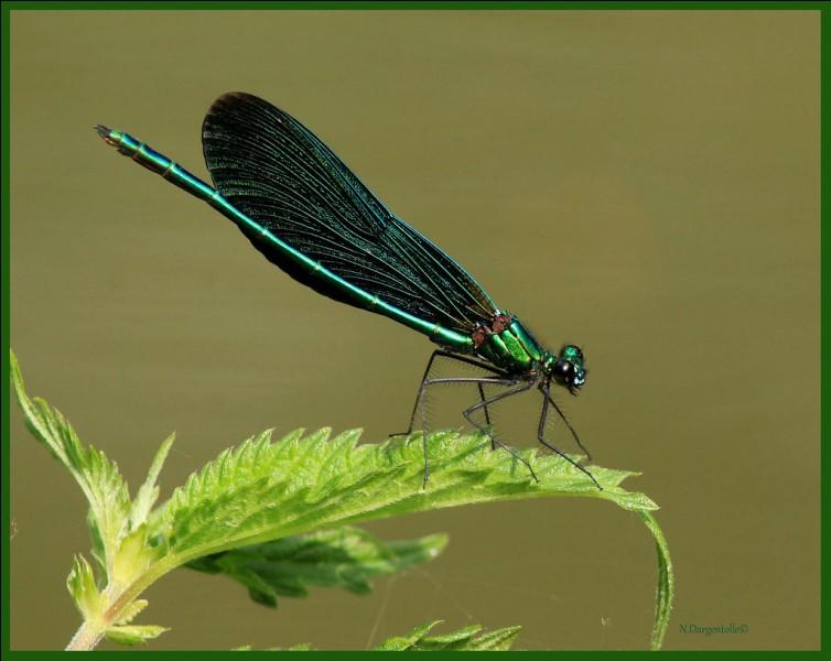 S'agit-il d'une libellule ou d'une sauterelle ?