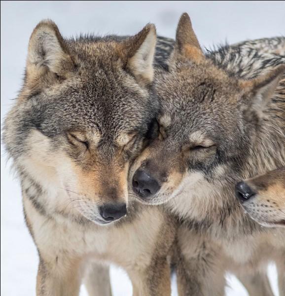 Quel animal est un descendant du loup ?