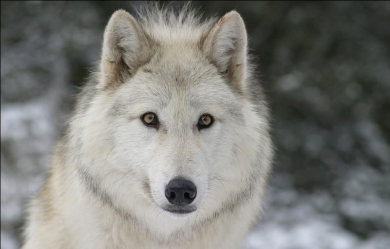 Le loup fait partie de la famille des...
