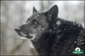 Quel animal est capable de manger un loup ?