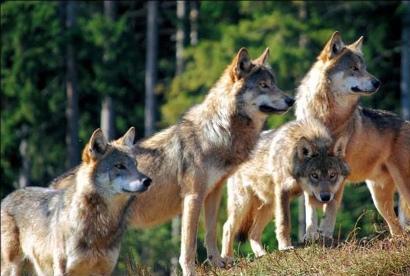Les loups sont des...