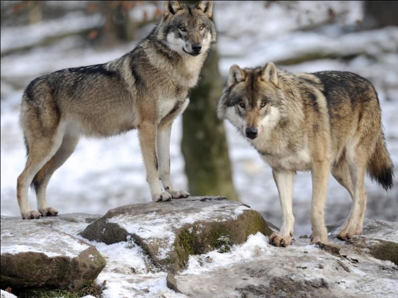 Connaissez-vous bien les loups ?