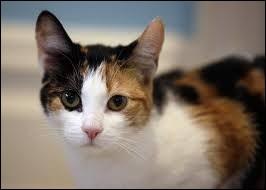 La majorité des chats tricolores sont des femelles !
