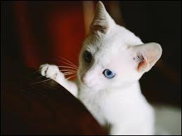 Les chats blancs aux yeux bleus sont sourds !
