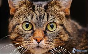 Comment le chat interprète-t-il votre intention si vous le regardez droit dans les yeux ?