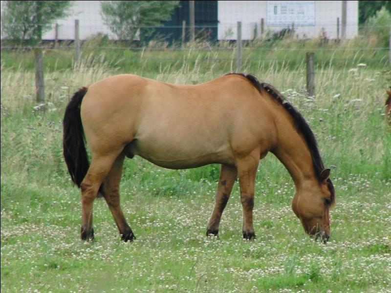 Quelle est la robe du cheval, composée de poils jaunâtres ou dorés et qui possède des extrémités parfois noires ? (Possède aussi une raie foncée sur le dos.)