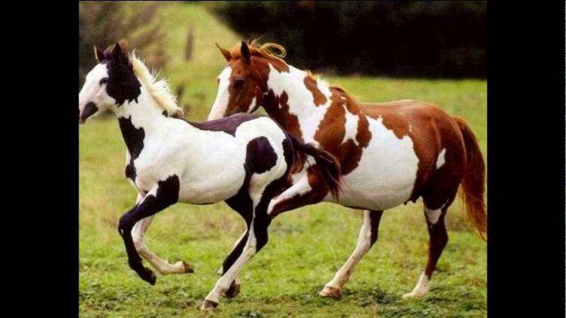 Ce cheval possède comme couleur prédominante le noir ou le blanc. Ses taches sont irrégulières et distinctes (souvent de forme ronde ou ovale) :