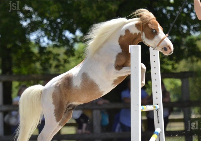 Le falabella est un poney.