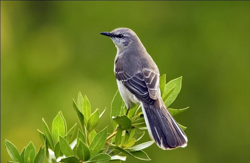 Quel oiseau, célèbre pour ses pouvoirs d'imitation, copie des sons divers comme les tondeuses à gazon, faucons, et les chats ?
