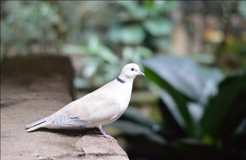 La colombe et quelle autre espèce d'oiseau font la famille des Columbidae ?