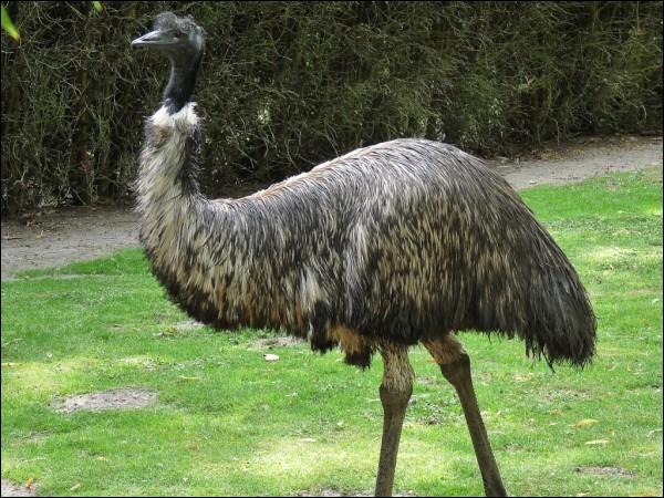 Sur quel continent vit un oiseau qui ne peut pas voler, nommé émeu ?