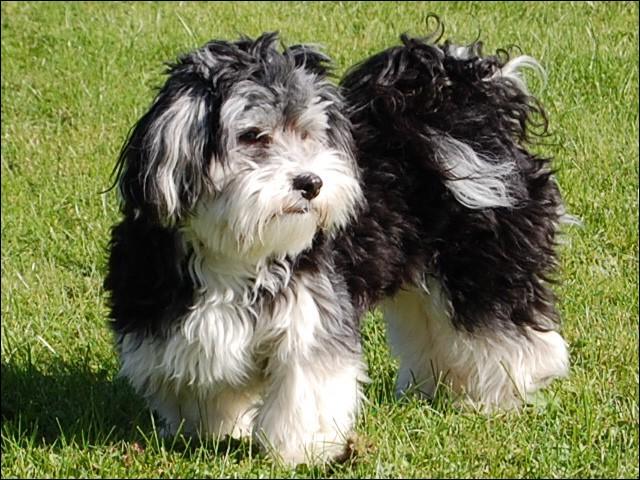 Petit et robuste, c'est le chien national de Cuba. C'est un :