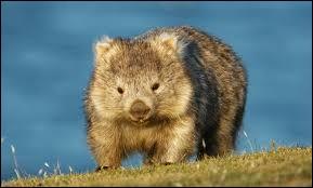 À l'état sauvage, dans quel pays les wombats vivent-ils ?