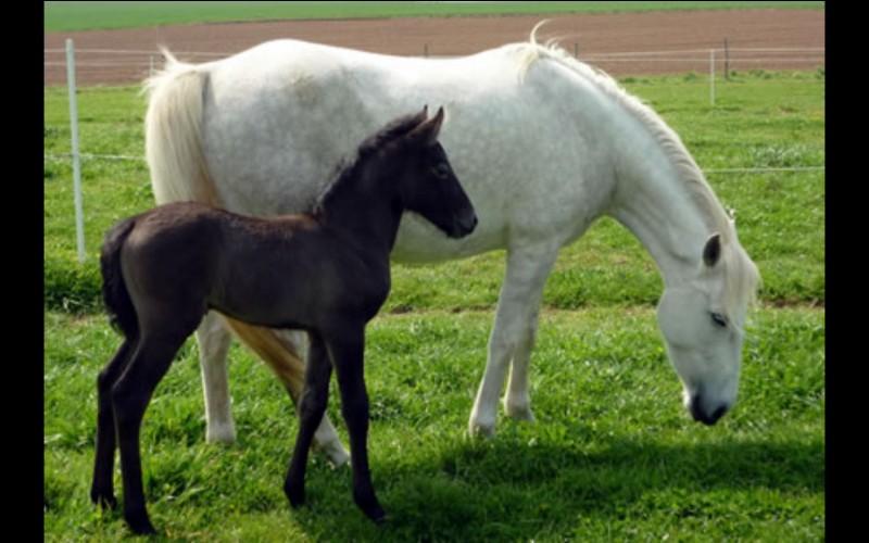 Comment s'appelle la femelle du cheval ?