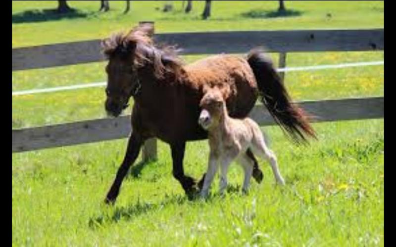 Comment s'appelle le petit du cheval ?