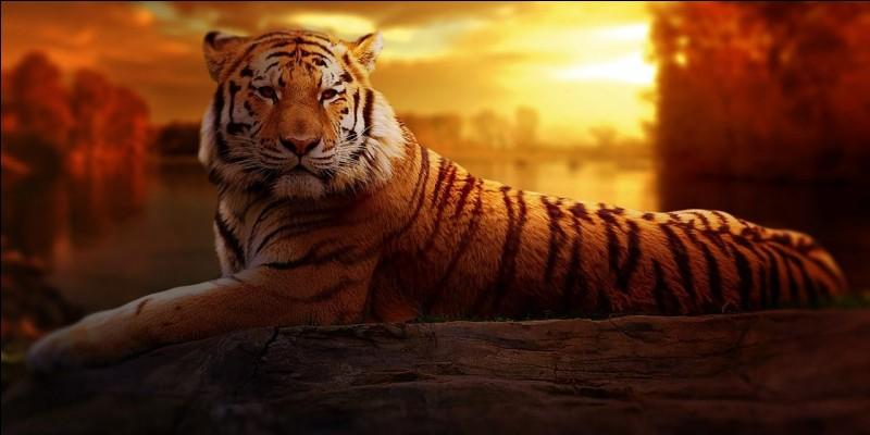 Les tigres sont-ils toujours orange et noir ?