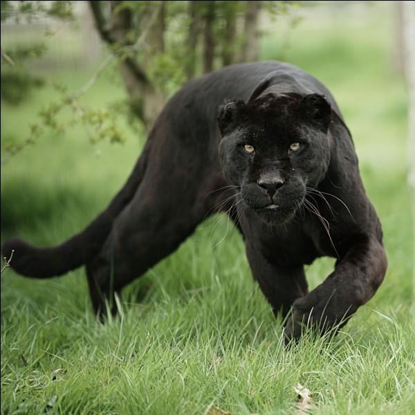 Les panthères sont-elles toutes noires ?