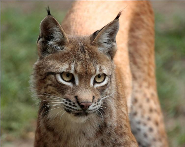 Les lynx sont connus pour avoir une longue queue.