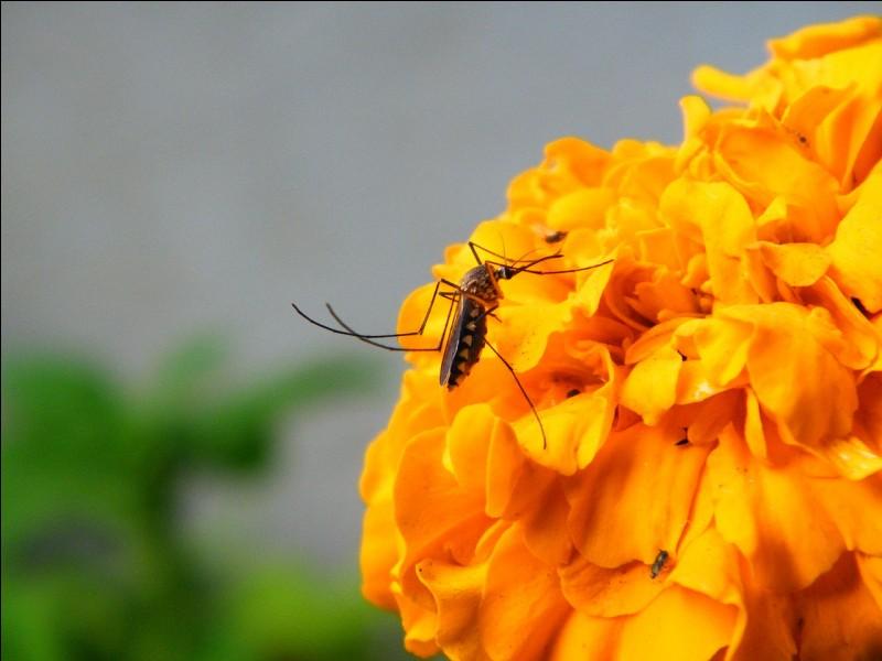 Les moustiques se nourrissent de nectar pour couvrir leurs besoins énergétiques mais lesquels vont vous piquer ?