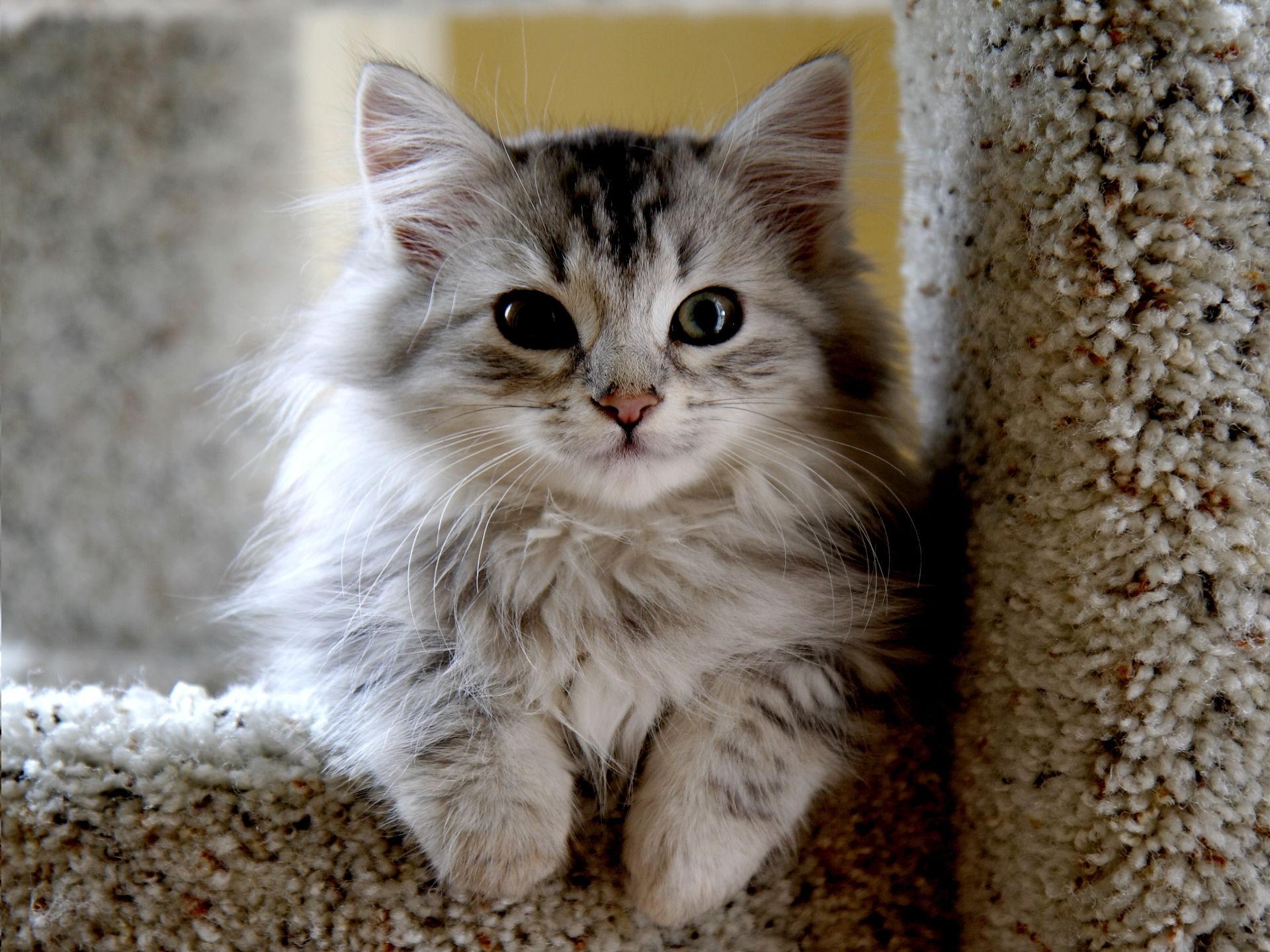 Connaissances sur les races de chats