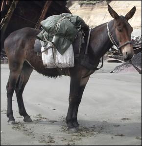 Il a été engendré par un âne et une jument, mais il n'est pas le seul à porter ce nom !