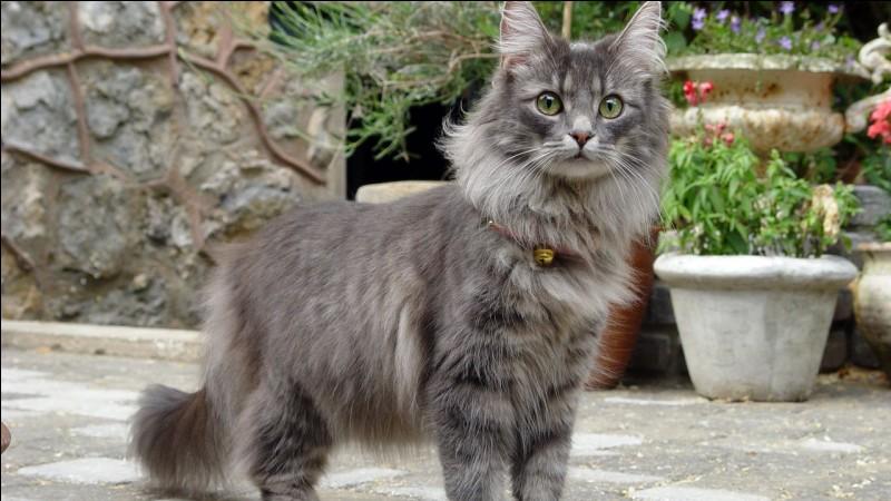 A quelle race appartien ce chat ?
