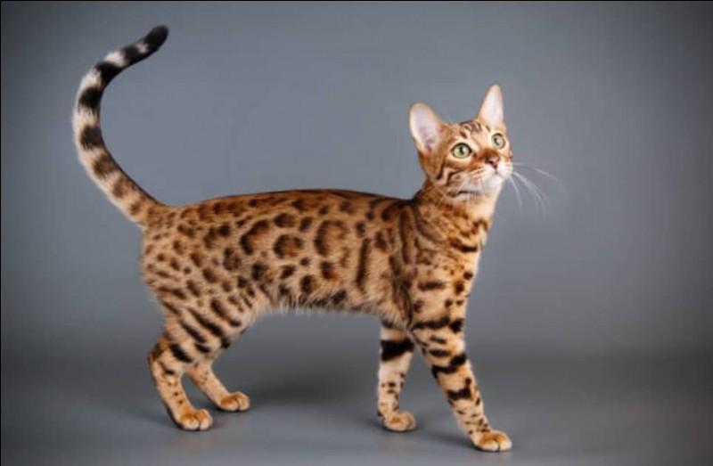 A quelle race appartient ce chat ?