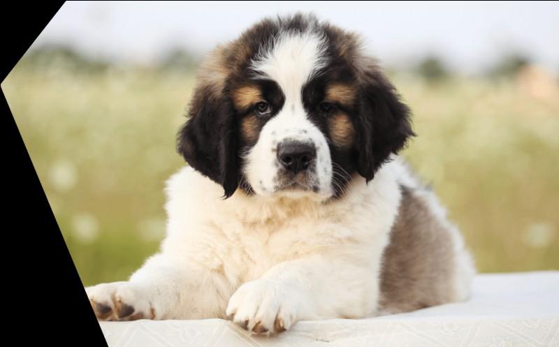 Origine : Moyen-Orient Taille : 62 à 90 cm Caractère : Doux, gentil, dévoué mais très têtu Représentant célèbre : Beethoven Quelle est cette race de chiens ?