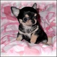 Origine : Mexique Taille : Jusqu'à 16 cm Caractère : Sociable, protecteur, courageux et hargneux Représentant célèbre : Tinkerbell, chien de Paris Hitlon Quelle est cette race de chiens ?