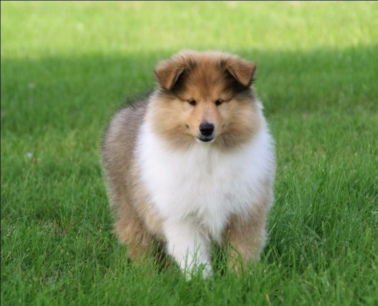 Origine : Angleterre Taille : 51 à 61 cm Caractère : Intelligent, affectueux, fidèle et patient Représentant célèbre : Lassie Quelle est cette race de chiens ?