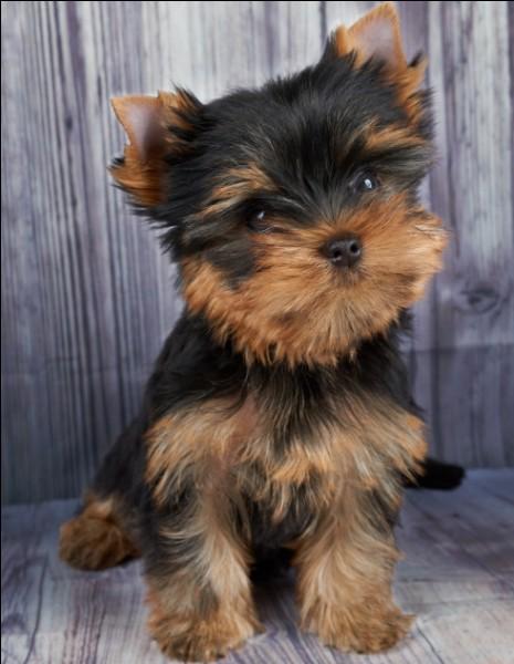 Origine : Angleterre Taille : 25 à 30 cm Caractère : Affectueux,vif, joueur et teigneux Représentant célèbre : Maya, la chienne de Belmondo Quelle est cette race ?