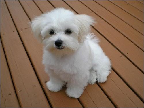 Origine : Méditerranée Taille : 20 à 25 cm Caractère : Affectueux, vif, docile et intelligent Représentant célèbre : Sumo, le chien des Chirac Quelle est cette race ?