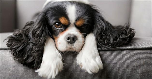 Origine : Angleterre Taille : 25 à 35 cm Caractère : Gai, sensible, joueur et très doux Représentant célèbre : Dash, chien de la reine Victoria Quelle est cette race ?