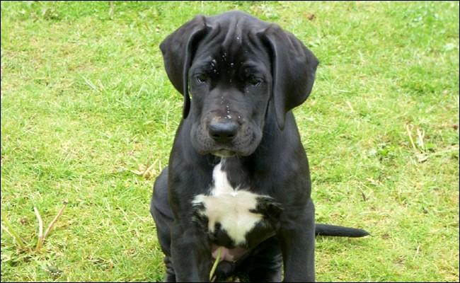 Origine : Allemagne Taille : 80 à 112 cm Caractère : Sociable, calme, têtu, bon chien de famille Représentant célèbre : Scooby-DooQuelle est cette race de chiens ?