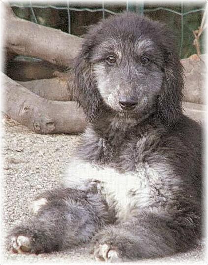 """Origine : Afghanistan Taille : 63 à 74 cm Caractère : Calme, sensible, distant et susceptible Représentant célèbre : Prissy dans """"Les 101 Dalmatiens"""" Quelle est cette race de chiens ?"""