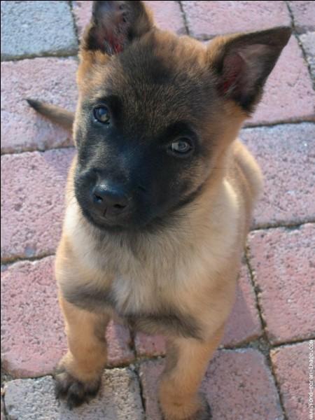 Origine : Belgique Taille : 58 à 62 cm Caractère : Intelligent, attentif, joueur, très bon chien policierReprésentant célèbre : Loubo, le chien d'Alain Delon Quelle est cette race ?