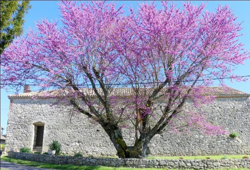 Quel est cet arbre parfois dénommé ''gainier'' qui peut atteindre 8 m de hauteur si on ne le taille pas ?