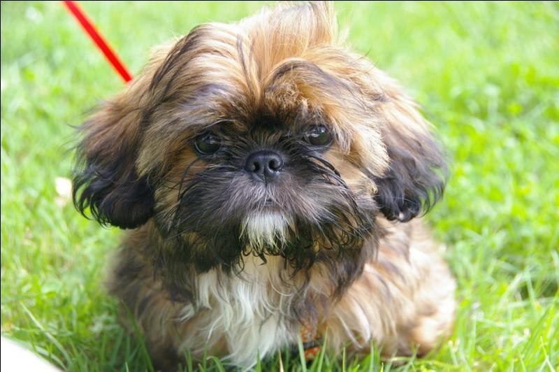 """La race du chien que nous apercevons ici se nomme """"Shih Tzu""""."""
