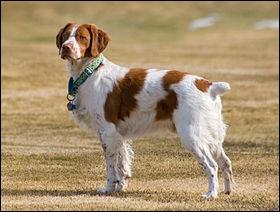 Origine : France Taille : 46 à 51 cm Poids : 13 à 18 kg Caractère : Intelligent, facile à dresser, joueur, bon chien de chasse Quelle est cette race ?