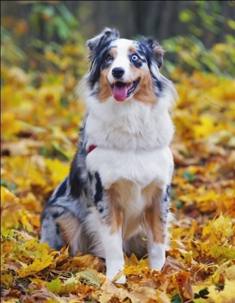 Origine : Etats-Unis Taille : 46 à 58 cm Poids : 19 à 30 kg Caractère : Endurant, très intelligent, curieux, loyal Quelle est cette race de chiens ?