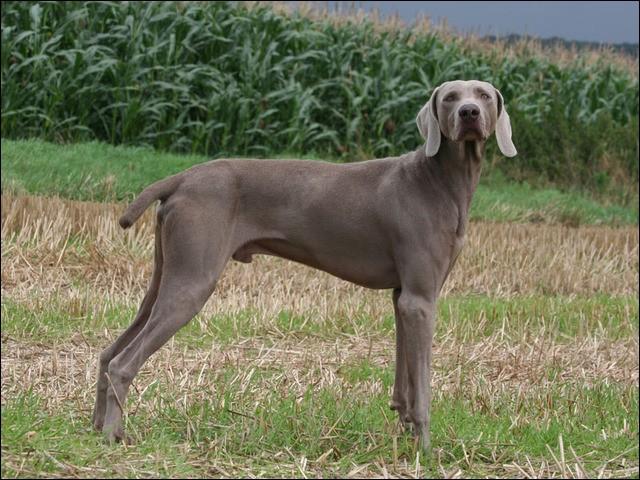 """Origine : Allemagne Taille : 59 à 70 cm Poids : 25 à 40 cm Caractère : Bon chasseur, fidèle, endurant, peut être """"pot de colle"""" Quelle est cette race de chiens ?"""